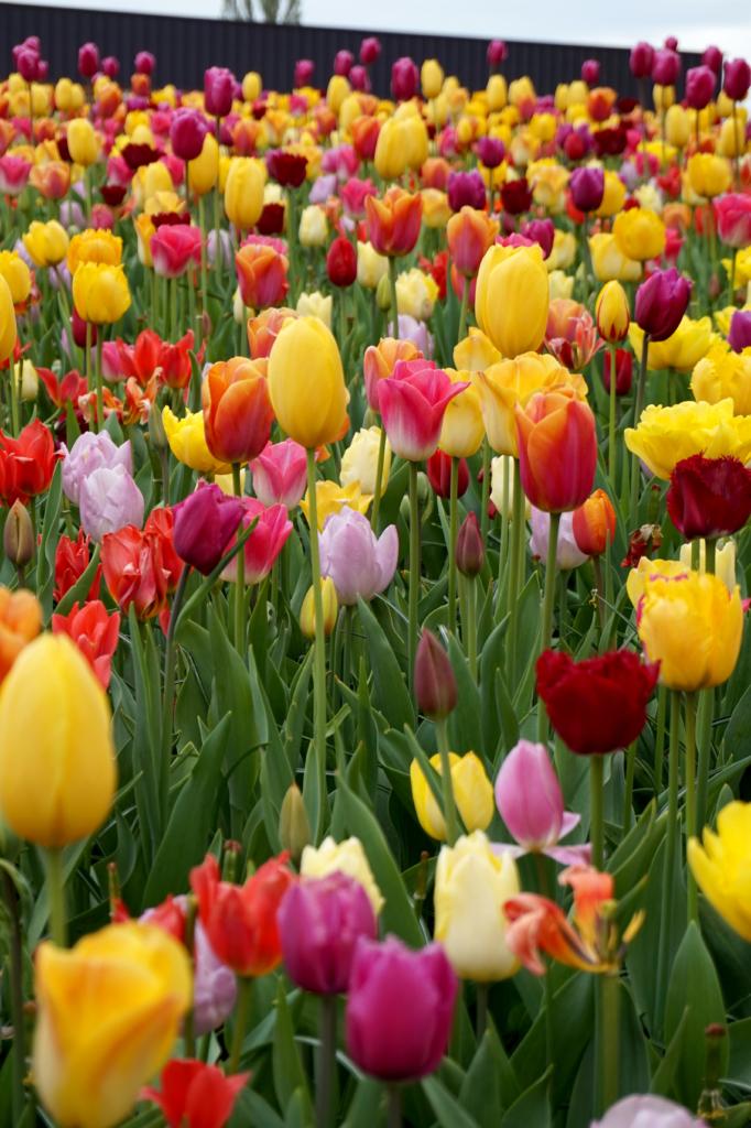 10 jännittävää faktaa tulppaaneista