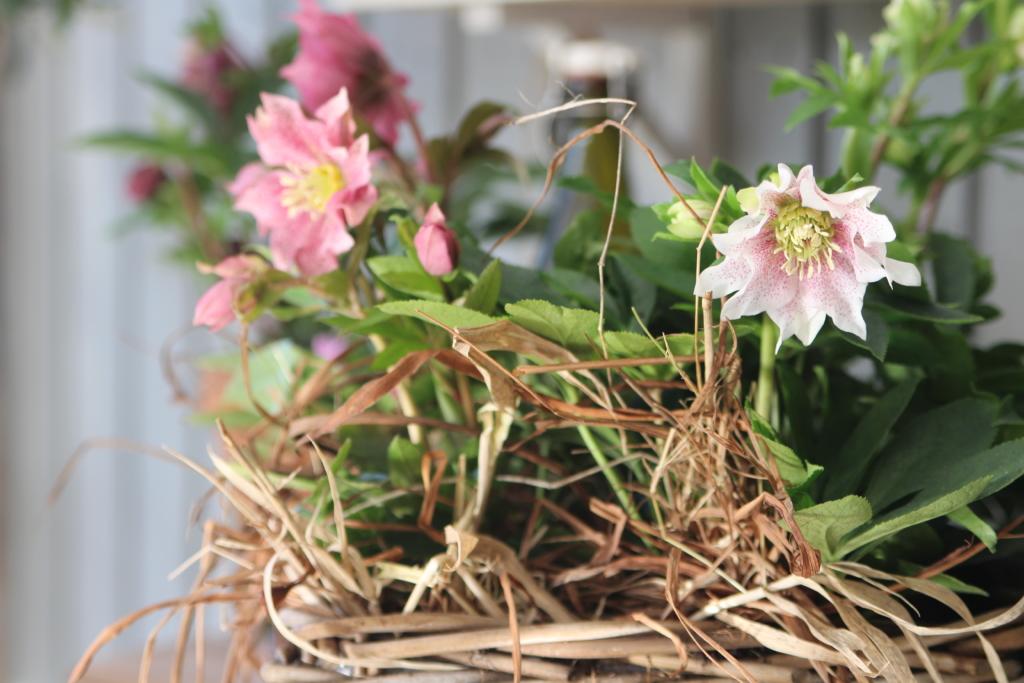 Kolme kasvia, jotka viihtyvät lasiterassilla kevättalvella.