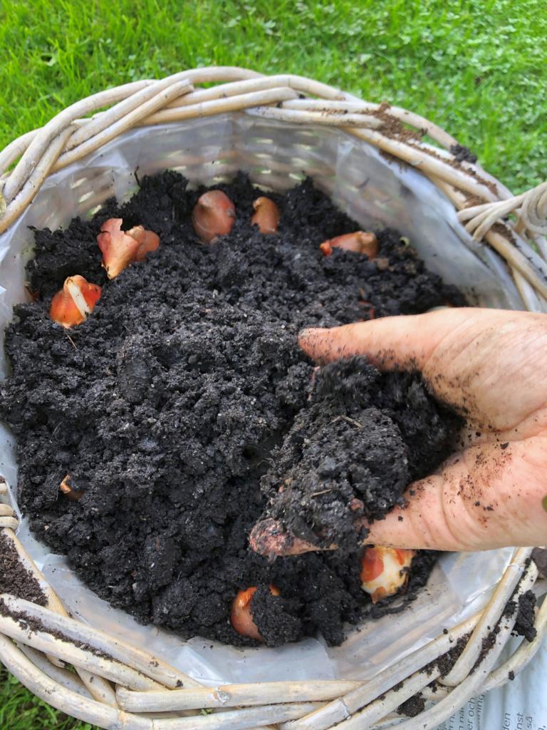 kasvattaa kevätsipuleita ruukussa